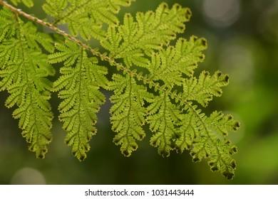 Fern leaf in rainforest of Malaysia.