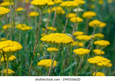 """Fern Leaf Yarrow flowers, close up. Agricultural nature landscape, Germany. Summer beds with Flowering Yarrow Achillea filipendulina """"Gold Plate"""" plants."""