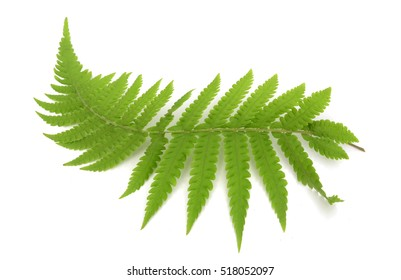 Fern leave, isolated on white background