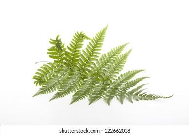 Fern leaves - Shutterstock ID 122662018