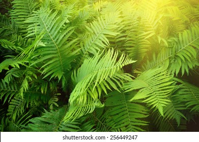 Fern leaves background. Lush green leaves of Pteridium aquilinum in the garden.
