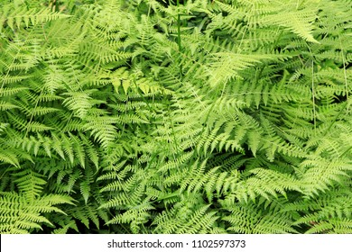 Fern leaves background outdoors natural landscape Wild growing fern leaves nature background closeup