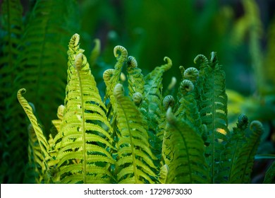 Fern leaves and fiddleheads growing in dark green shady forest. Selective focus nature background