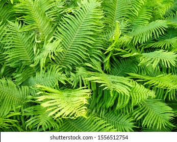 Fern leaves foliage Green leaf floral background in sunlight