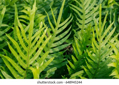 fern leaves in the garden, Fresh green fern leaves on green background in the garden sunlight.  Texture of fern leaves, Fern leaf in Forest. Garden and Green wall.