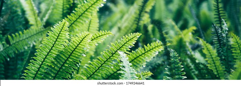 Fern leaves. Green fern plants in nature landscape. Fern plants in forest. Fresh green tropical foliage. Rainforest jungle landscape. Green plants nature wallpaper. Organic nature background.