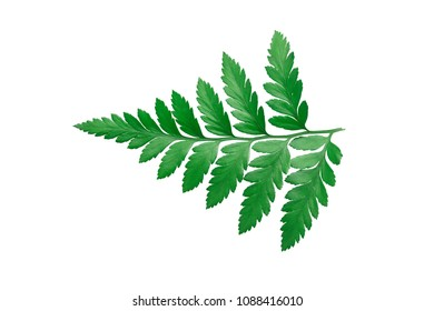 Fern leaves - Rumohra adiantiformis (Aspedium capense) isolated on white background. Leather-leaf fern, The fern is native to South America, the Caribbean, southern Africa. Clipping path included.