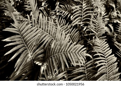 fern leaves, sepia toned