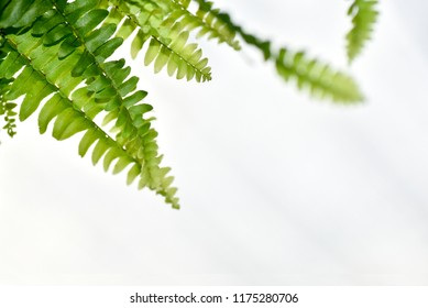 Fern leaves in the sun. Natural floral fern background in sunlight. Perfect natural fern pattern. Beautiful background made with young green fern leaves. Beautiful bokeh background. shallow focus.