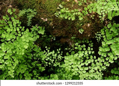 Fern leavesand mos background in rain forest.Beautiful green leaves in a garden.