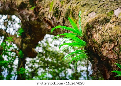 A fern is a member of a group of vascular plants that reproduce via spores. Asplenium nidus or nest fern an epiphyte fern grows upon another plant, found in moist tropical areas.
