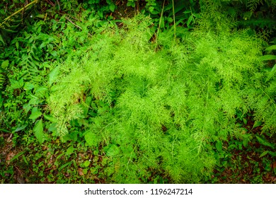 A fern is a member of a group of vascular plants (plants with xylem&phloem) that reproduce via spores, neither seeds nor flowers. asparagus fern is a climbing plant found in moist tropical areas.