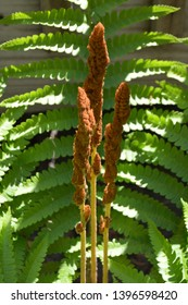 A fern is a member of a group of vascular plants (plants with xylem and phloem) that reproduce via spores and have neither seeds nor flowers.