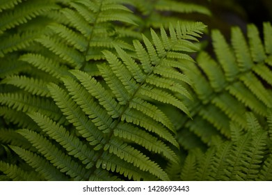 A fern is a member of a group of vascular plants that reproduce via spores and have neither seeds nor flowers. - Shutterstock ID 1428693443