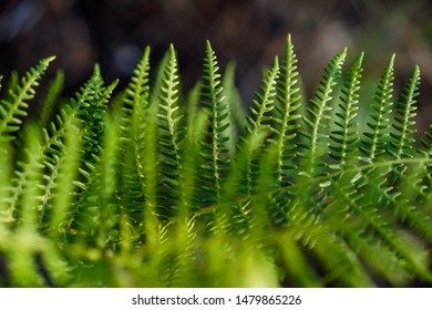 A fern is a member of a group of vascular plants (plants with xylem and phloem) that reproduce via spores and have neither seeds nor flowers