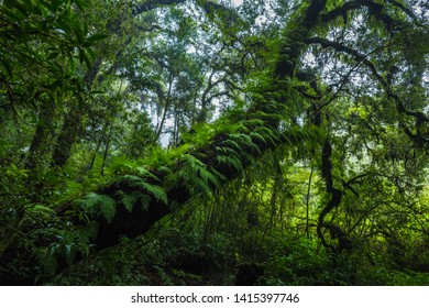 Fern, moss on tree plant in tropical rain forest at Ang Ka Nature trail in Doi Inthanon Nature Park, Chiang Mai, Thailand