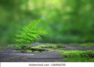 Farn wächst auf moosbewachsenen Stumpf im Wald. grüner Farn Blätter auf abstraktem Naturhintergrund. Konzept der reinen Natur, Umwelt, Ökologie. Sommerwaldlandschaft, Design-Textur, Kopienraum.