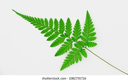 fern  on  white  blackground