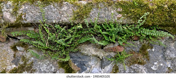 A fern plant called Zanokcica wall growing on a wall made of stone in the village of Turośl in Podlasie in Poland. - Shutterstock ID 1985405105