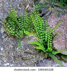 A fern plant called Zanokcica wall growing on a wall made of stone in the village of Turośl in Podlasie in Poland. - Shutterstock ID 1985405108
