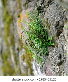 A fern plant called Zanokcica wall growing on a wall made of stone in the village of Turośl in Podlasie in Poland. - Shutterstock ID 1985405120