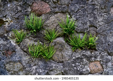 A fern plant called Zanokcica wall growing on a wall made of stone in the village of Turośl in Podlasie in Poland. - Shutterstock ID 1985405135