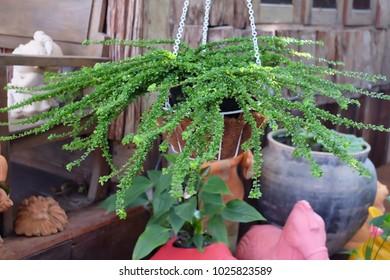 fern planted in pots.
