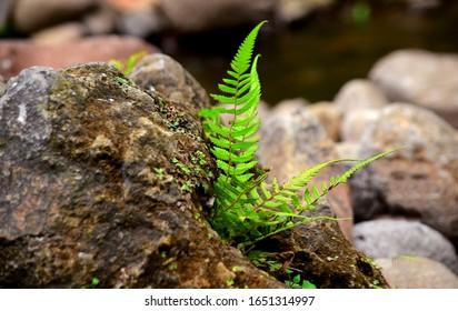 Fern plants - Ferns grow on rocks, plants grow on rocks