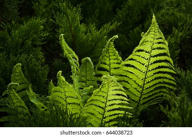 Fern polypody adder's tongue plant in forest in early midsummer morning and day sunlight