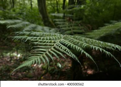 A fern in rain forest near Wellington, New Zealand.