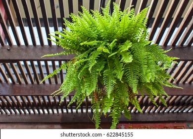 Fern shrub hangs on balcony's roof
