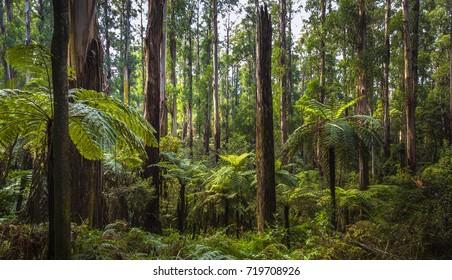 fern tree gully rainforest Melbourne mountain ash gumtrees morning light