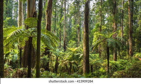 fern trees sunny morning Mt Dandenong temperate rainforest mountain range