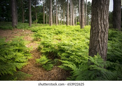 Fern undergrowth in the King's Forest managed forestry area in Suffolk County, England.