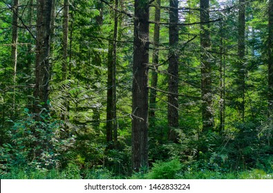 Fern undergrowth in mixed conifer and hardwood forest near Mount St. Helens National Volcanic Monument, Washington