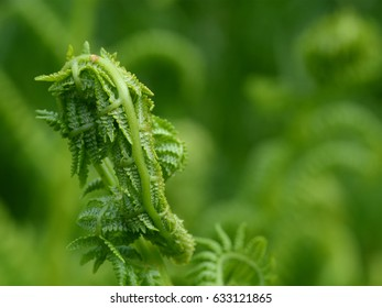 Fern waiting to uncurl