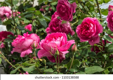Ferney Voltaire, Rhone Alps, France - May 2018: French roses bloom in the garden.