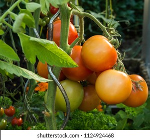 Ferney Voltaire, Rhone Alps France - June 2018: Tomatoes, traditional French variety Montfavet at maturity.