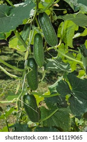 Ferney Voltaire, Rhone Alps France - July 2018: Cucumbers, View cucumber whip with a four gherkins in the fruiting period.