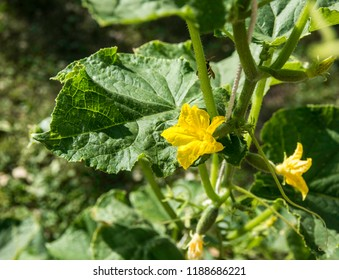 Ferney Voltaire, Rhone Alps France - June 2018: Cucumbers, View of the cucumber whip during flowering.