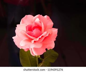 Ferney Voltaire, Rhone Alps France - September 2018: Pink rose on black background