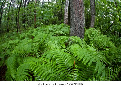 Ferns cover the floor of a forest growing just outside of Boston, Massachusetts.