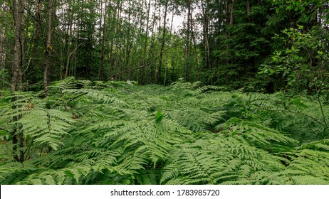 Ferns is a flowerless plant which has feathery or leafy fronds and reproduces by spores released from the undersides of the fronds. Ferns have a vascular system