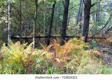 Ferns and forest in fall color in Necedah National Wildlife Refuge in Wisconsin