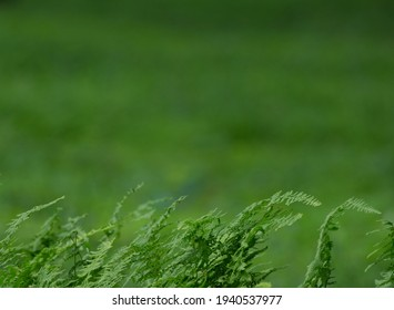 Ferns With Green Field Background