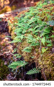 Ferns growing on a moss-covered boulder in the forest of Finland. Ferns and mosses are one of the oldest groups of plants on earth existing Devonian period more than 380 million years ago.