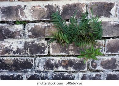 Ferns growing through a historic brick wall at a Florida civil war era fort.