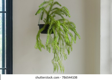 Ferns hanging in the house , indoor plants