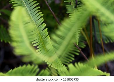 ferns in Hawaii, shallow depth of field