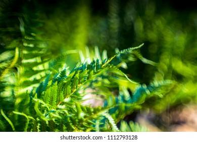 ferns leaves blurred background